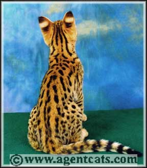 Special Agent Savannah Cats